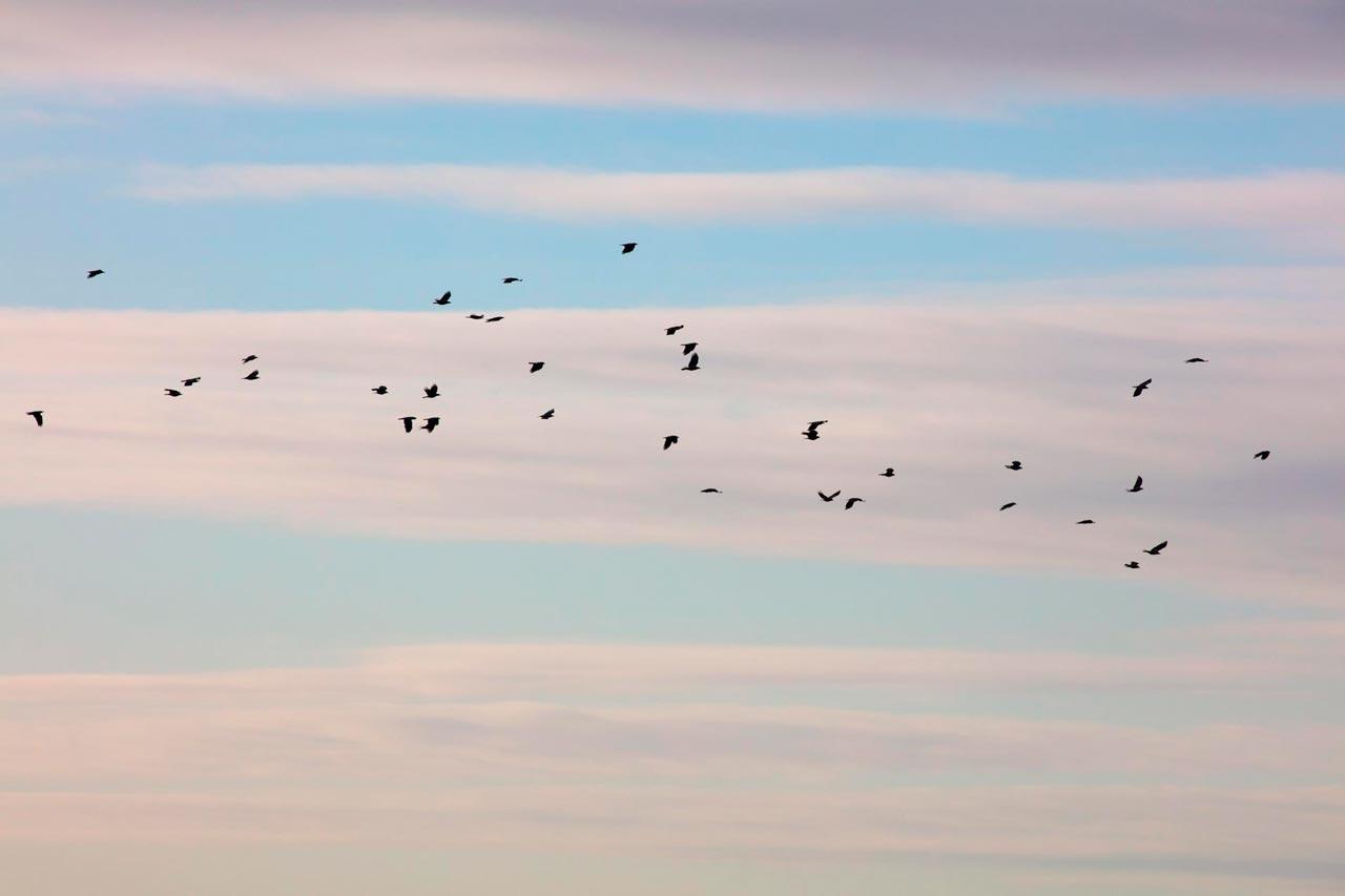 Fugler Flyr